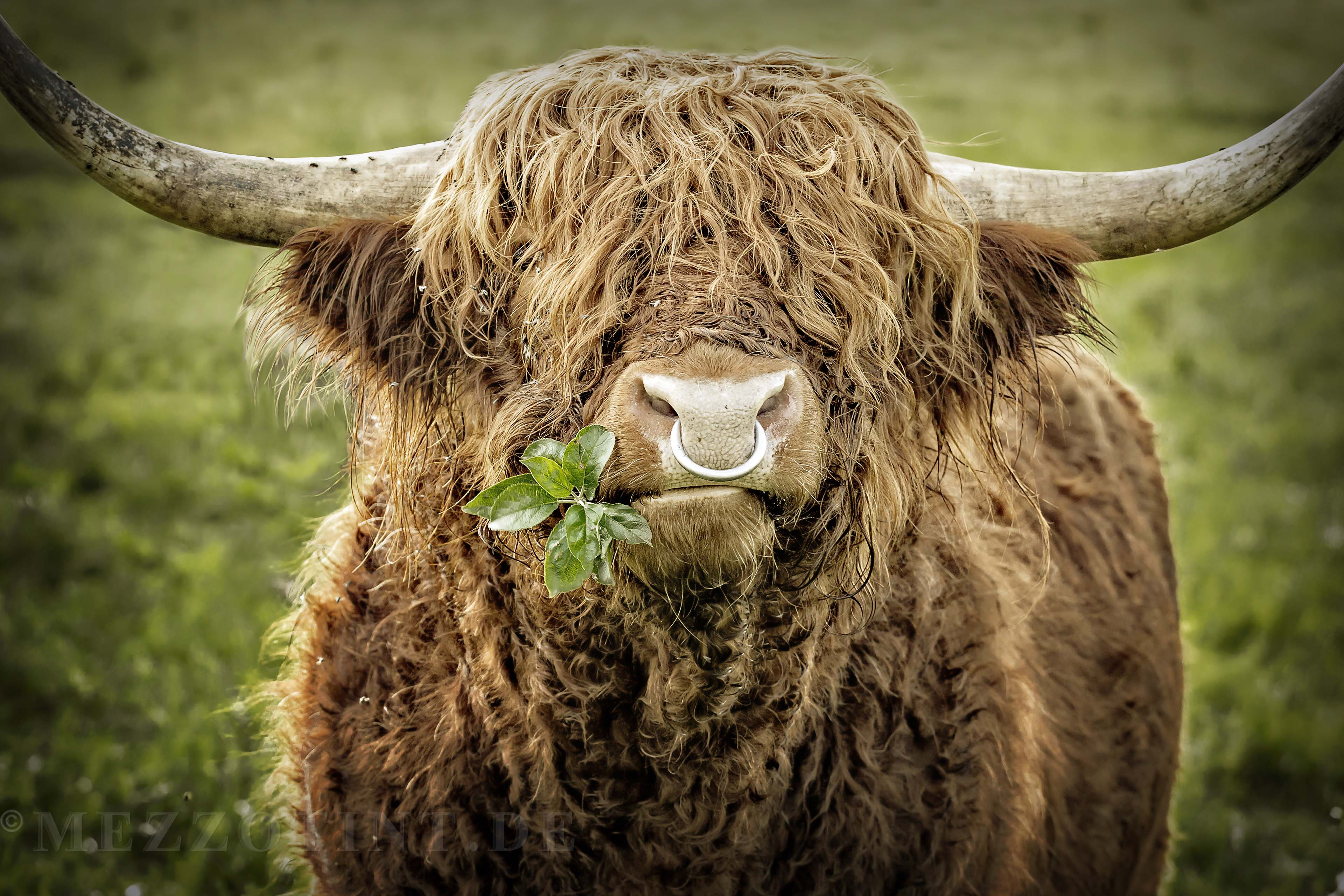 Highland cattle bull chewing leaves
